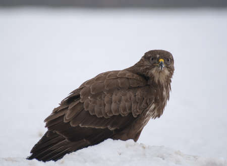 Buzzard Stock Photo - 17654481