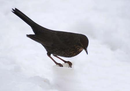 Blackbird Stock Photo - 17653478