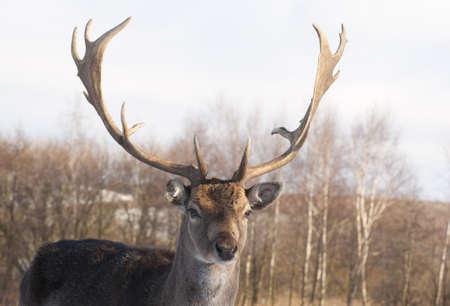 fallow deer: Fallow