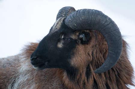 Mouflon photo