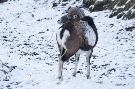 mouflon: Mouflon Stock Photo