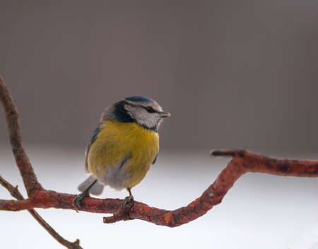 Blue tit Stock Photo - 17874317