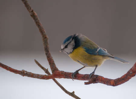 Blue tit Stock Photo - 17874290