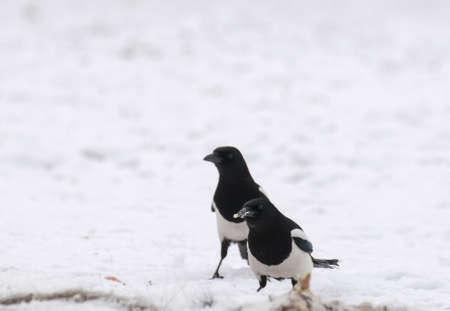 difficult period: Magpie Stock Photo