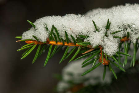 fascicle: Spruce twig with snow