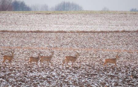 roebuck: Herd of deer