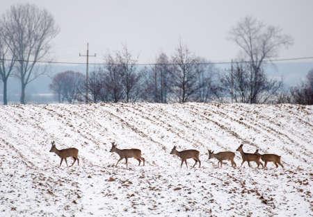 Herd of deer photo