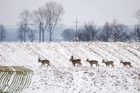 herd deer: Herd of deer