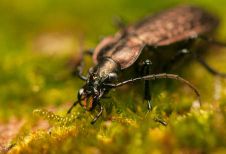 Carabus arvensis Stock Photo - 17993325