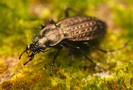Carabus arvensis photo