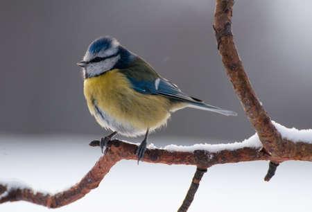 Blue tit Stock Photo - 18022560