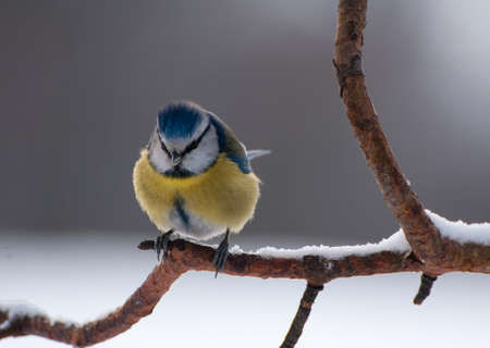 Blue tit Stock Photo - 18022461