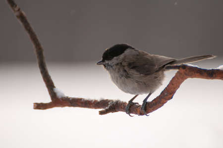 Poecile palustris photo