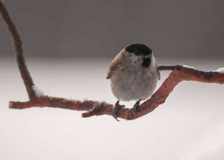tom tit: Poecile palustris