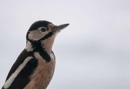 difficult period: Woodpecker