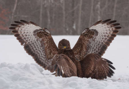 Buzzard fight Stock Photo - 18022324