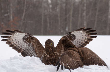 Buzzard fight photo
