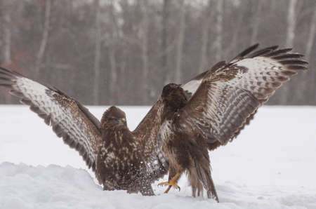Buzzard fight Stock Photo - 18022541