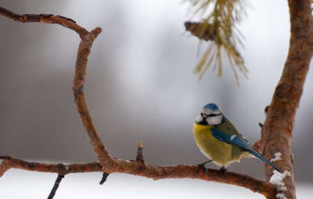 Blue tit Stock Photo - 18060954
