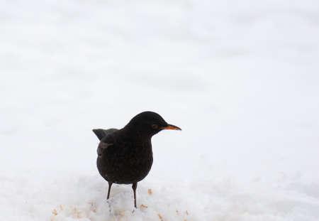Blackbird Stock Photo - 18060857