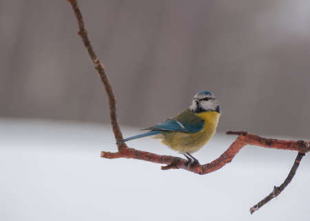 Blue tit Stock Photo - 18060894