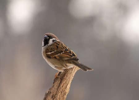 Sparrow Stock Photo - 18060943