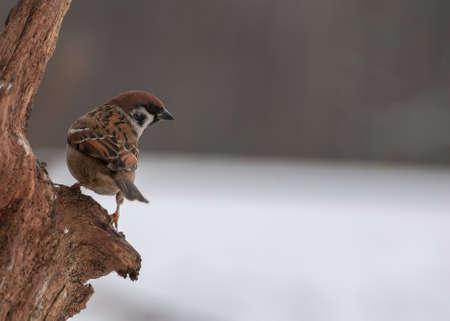 Sparrow Stock Photo - 18060942