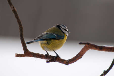 tom tit: Blue tit