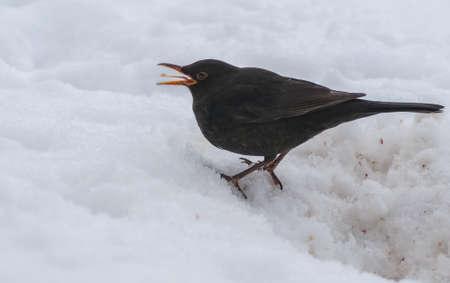 Blackbird Stock Photo - 18061037