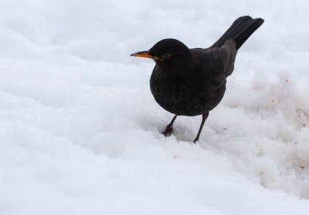 Blackbird Stock Photo - 18061034