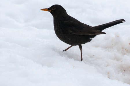 Blackbird Stock Photo - 18061033