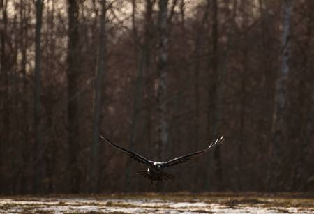 raven Stock Photo - 18363866