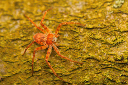 philodromus: spider - Philodromus Stock Photo