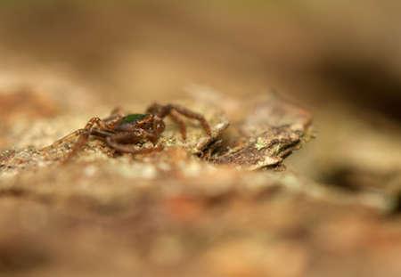 pronotum: Spider - Thomisidae