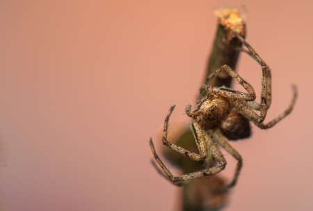 Spider - Philodromus Stock Photo - 18552165