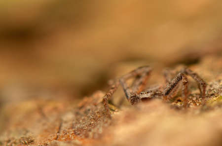 pronotum: Spider - Philodromus