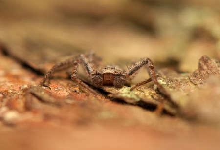 philodromus: Spider - Philodromus