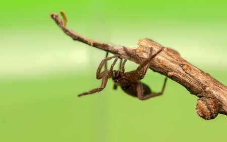 pronotum: Spider - Clubiona