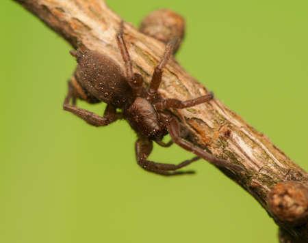 Spider - Clubiona Stock Photo - 18552152