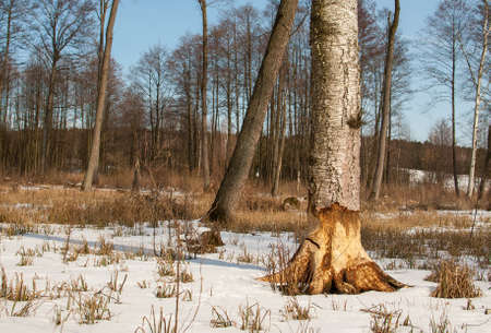 feeding ground beavers Stock Photo - 18552210