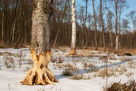 feeding ground beavers Stock Photo - 18552203