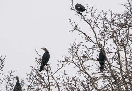 cormorant Stock Photo - 18591491