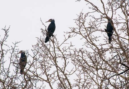 cormorant Stock Photo - 18591502