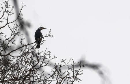 cormorant Stock Photo - 18591483