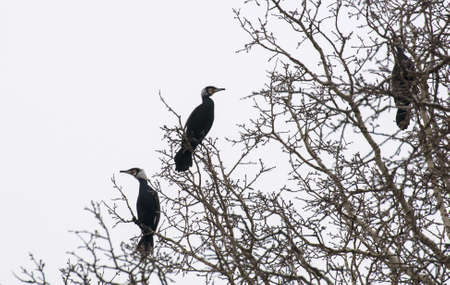 cormorant Stock Photo - 18591149