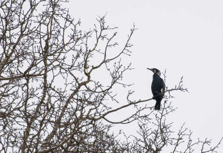 cormorant Stock Photo - 18591490