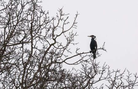 cormorant Stock Photo - 18591503