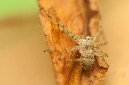 Spider - Philodromus Stock Photo - 18591481