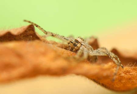 Spider - Philodromus Stock Photo - 18591480