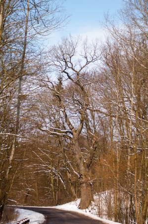 Old oak winter photo